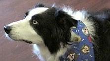 Dottor Angus, il cane che scova superbatteri /   Foto