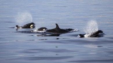 Perché le orche vanno in menopausa