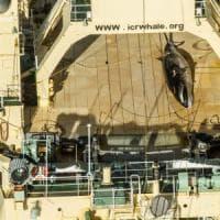 Caccia illegale alle balene, nave giapponese colta in flagrante