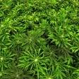 """""""Cannabis, funziona contro dolore vomito e nausea.  Ma non è una cura per tutto"""""""