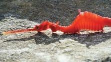 Il drago di mare rubino  filmato per la prima volta