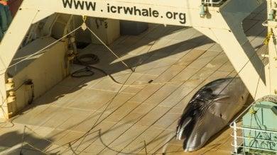Caccia illegale alle balene nave giapponese colta in flagrante