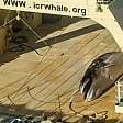 Caccia illegale alle balene nave giapponese incastrata dalla foto-denuncia