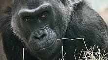 Usa: addio a Colo, primo gorilla nato in cattività