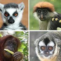 Agricoltura, clima e malattie: oltre la metà dei primati a rischio estinzione