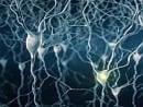 I neuroni controllano la crescita vasi sanguigni  Così trema un pilastro della biologia