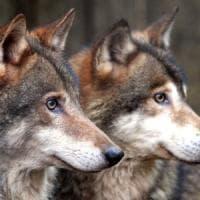 Wwf alle Regioni: ''Il piano sul lupo è un'arma di distrazione di massa''