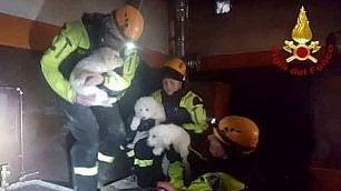 Trovati vivi i tre cuccioli di Lupo e Nuvola    video