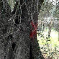 Xylella, primo ok dell'Ue al reimpianto degli ulivi nel Salento