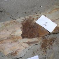 Trovato collagene in fossile dinosauro di 80 mln anni fa