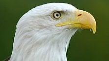 L'aquila simbolo degli Usa fa razzia nei pollai