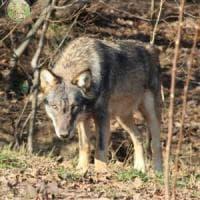 Nel centro di Monte Adone, dove si salvano i lupi: