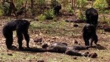 Video: la dura legge del gruppo scimpanzé ucciso dai consimili