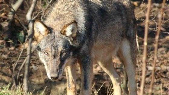 Alt al piano per sparare ai lupi: le Regioni ottengono il rinvio