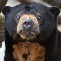 La danza dell'orso malese dà nuova speranza alla ricerca