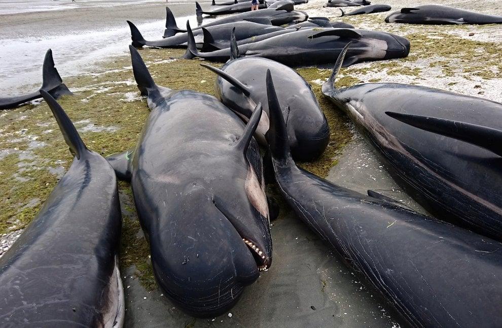 Nuova Zelanda, muoiono 300 balene spiaggiate: il lavoro dei soccorritori per salvarne altre 100