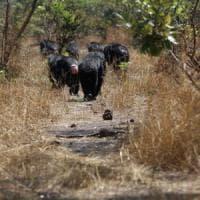 La rivolta degli scimpanzè, raro caso di omicidio e cannibalismo fra primati