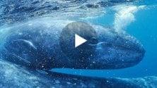 Video: il   triangolo amoroso delle balene grigie