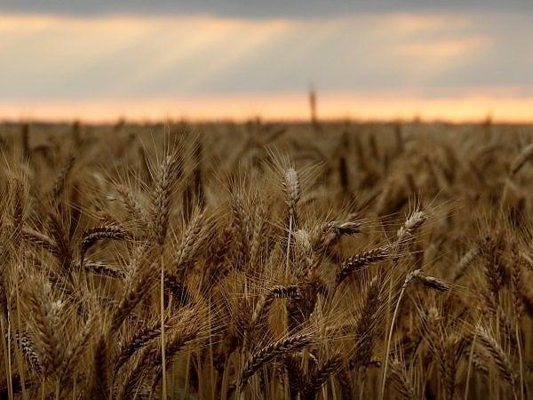 Coldiretti: Crollano le semine di grano. Pasta italiana a rischio con il Ceta