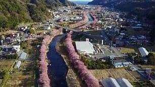 Un fiume di ciliegi in fiore. La scia rosa attraversa la città