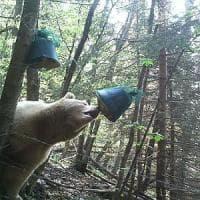 Il letargo brevissimo dell'orso Francesco: uscito dalla tana per il caldo