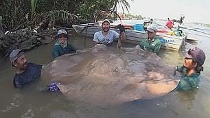 La pesca record di un italiano:   razza di 240 kg rilasciata in acqua