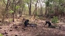 Rivolta degli scimpanzè, raro caso di omicidio e cannibalismo fra primati
