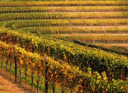 A rischio i vini friulani: troppo caldo e poca pioggia