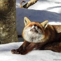 Parco nazionale d'Abruzzo, la volpe si stiracchia: lo scatto è incredibile