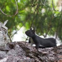 L'Italia ha un nuovo mammifero: lo scoiattolo meridionale