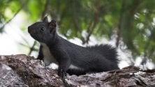 Un nuovo mammifero: lo scoiattolo meridionale in Calabria e Basilicata