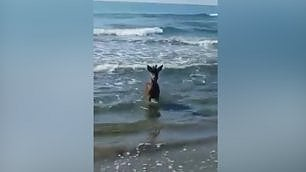 Il bagno in mare del capriolo sulla spiaggia di Castiglione