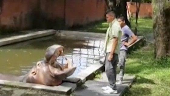 Picchiato a morte Gustavito, ippopotamo simbolo di El Salvador
