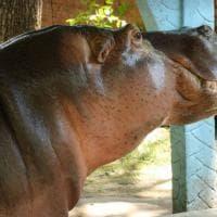 Gustavito, ippopotamo pestato a morte