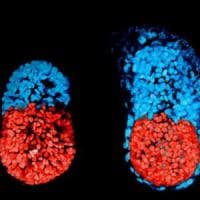 Ecco il primo embrione artificiale, 'nato' da un topo e cresciuto in provetta