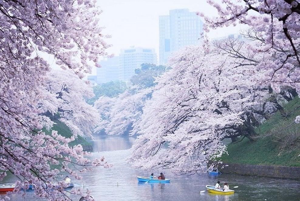 Tokyo lo spettacolo dei ciliegi in fiore al via l 39 hanami - Foto della bandiera del giappone ...