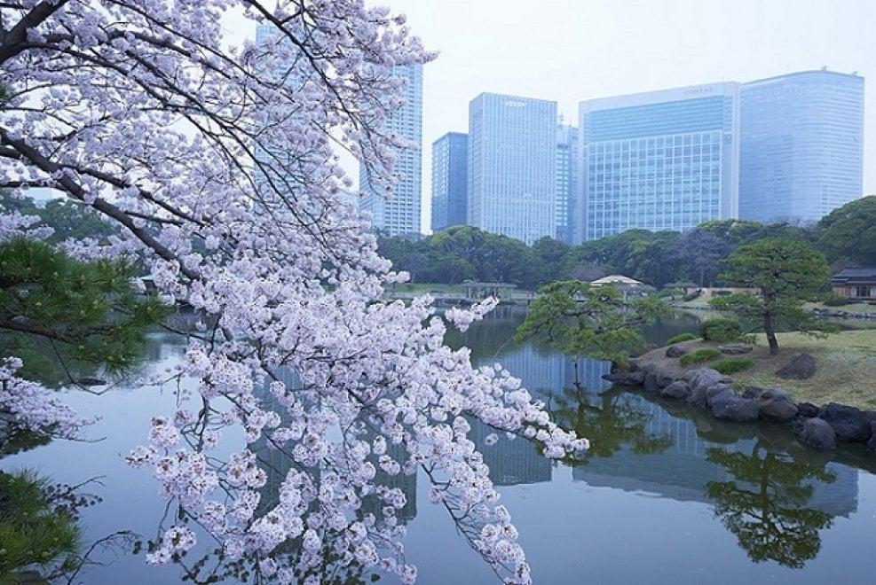 Tokyo, lo spettacolo dei ciliegi in fiore: al via l'hanami - Repubblica.it