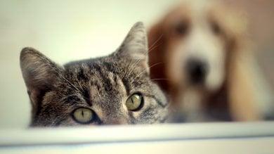Il gatto non è meno intelligente del cane   Foto  le specie con il QI più alto