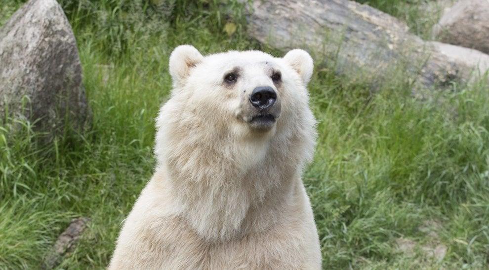 Germania: ucciso l'orso Taps fuggito dallo zoo, era un esemplare raro