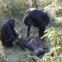 Il rituale funerario degli scimpanzé