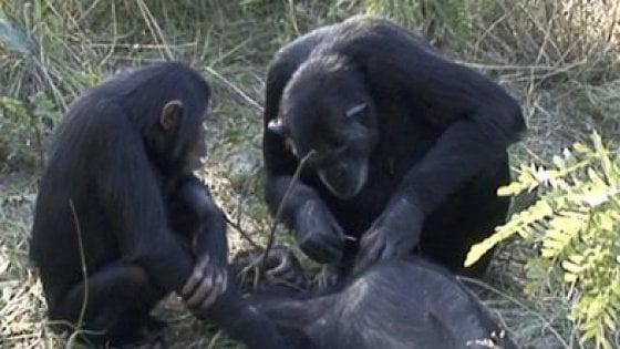 Anche gli scimpanzé provano compassione di fronte alla morte: ecco il loro rituale funerario