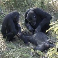 Anche gli scimpanzé provano compassione di fronte alla morte: ecco il loro rituale...