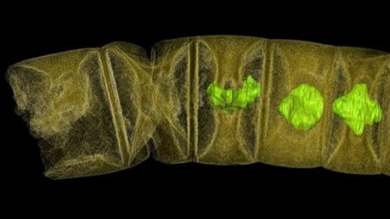 Un'alga di 1,6 miliardi di anni: è il fossile della pianta più antica del mondo