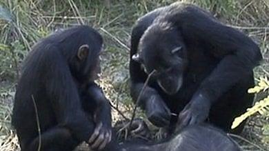 Anche gli scimpanzé provano compassione di fronte alla morte: il rituale funebre   foto