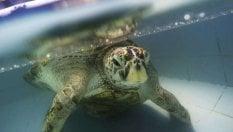 "Thailandia: è morta ""Bank"", la tartaruga che aveva ingoiato quasi mille monetine"