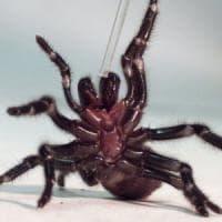 """""""Dal veleno dei ragni una protezione  contro i danni dell'ictus"""""""