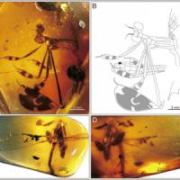 Insetti, immortalato nell'ambra un corteggiamento di 100 milioni di anni fa