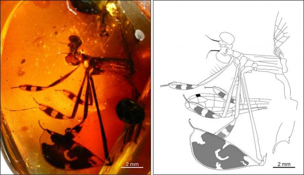 Immortalato nell'ambra un corteggiamento di 100 milioni di anni fa