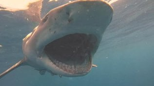Immersione da brividi, gli squali mangiano le esche vicino al sub
