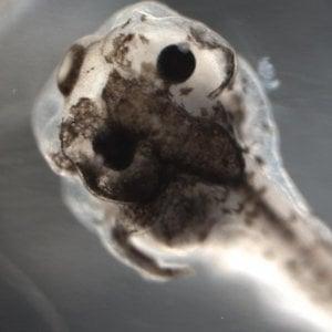 Sarà una rana il primo organismo progettato con l'intelligenza artificiale